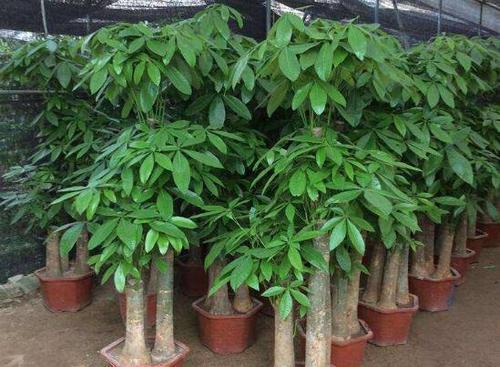 发财树怎么养才茂盛?五种方法让你的幸运树茁壮成长
