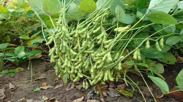 毛豆种植技术有那些?运用这几点来种植毛豆,产量耿耿的