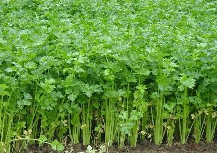 芹菜的种植技术与日常管理 运用好的话芹菜生长非常好
