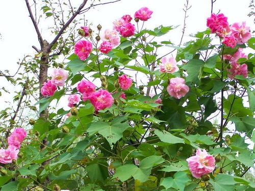 木芙蓉花要怎样种植?养护的注意事项有哪些?