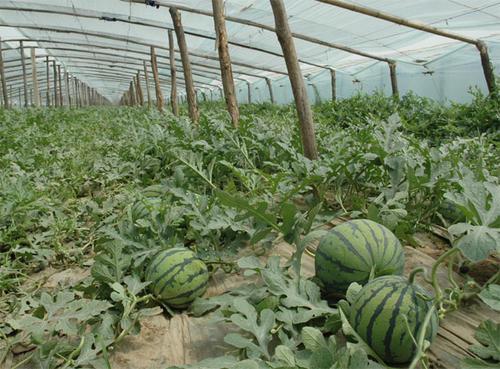 """大棚西瓜种植技巧 实现""""一茬多收""""的栽培技术"""