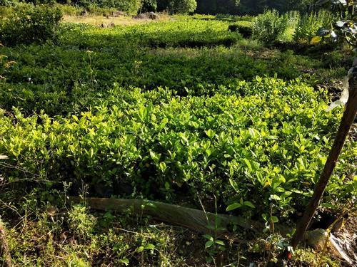常德市中稻病虫害防治,请问水稻什么时候防治病虫害?