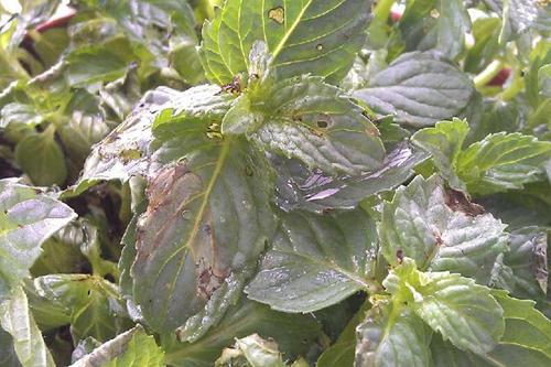 病虫害施工方案,大蒜常见的病虫害应如何防治?
