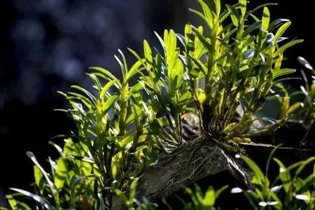 石斛养殖方法 盆栽,石斛浇水的正确方法