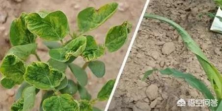 农作物发生药害后,该采取什么措施进行补救?