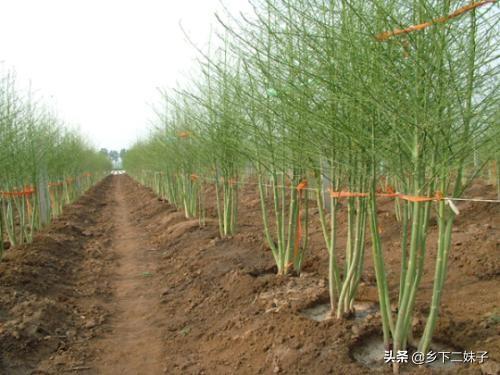 石刁柏作为药食两用的植物,如何种植才能获得高产?