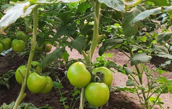 番茄种植的适宜密度是多少(大棚番茄种植密度)