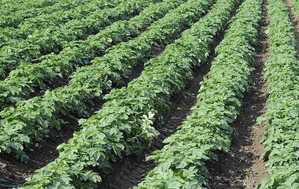 马铃薯青枯病是由真菌引起的植物土传病害吗(马铃薯青枯病的发病原因)