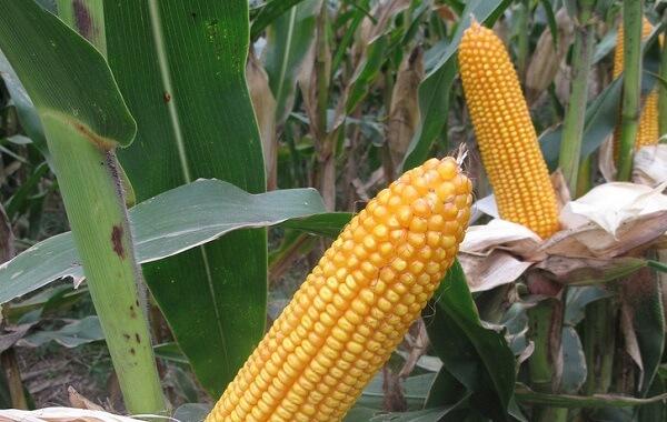 玉米种子参次不齐怎么样筛选(玉米选筛孔径大小)