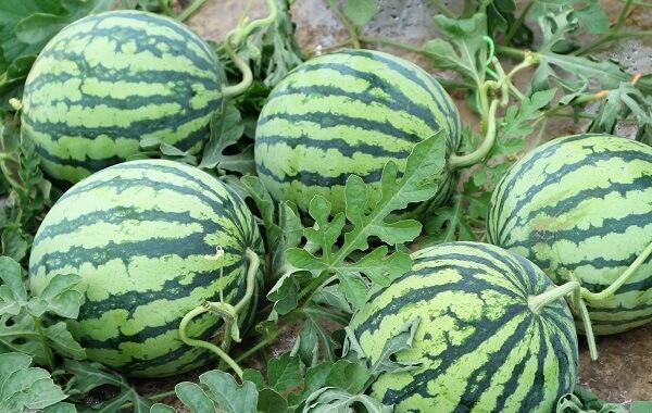 西瓜一棵秧可以留几个瓜(一颗西瓜苗可以留几个瓜)